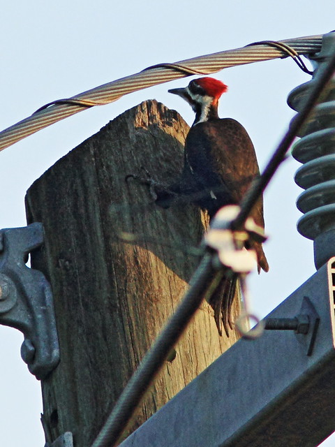 Pileated Woodpecker 5-20150123