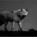 Arctic Wolf by Saberlynx