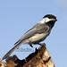 1 legged Black-capped Chickadee by Sharon's Bird Photos