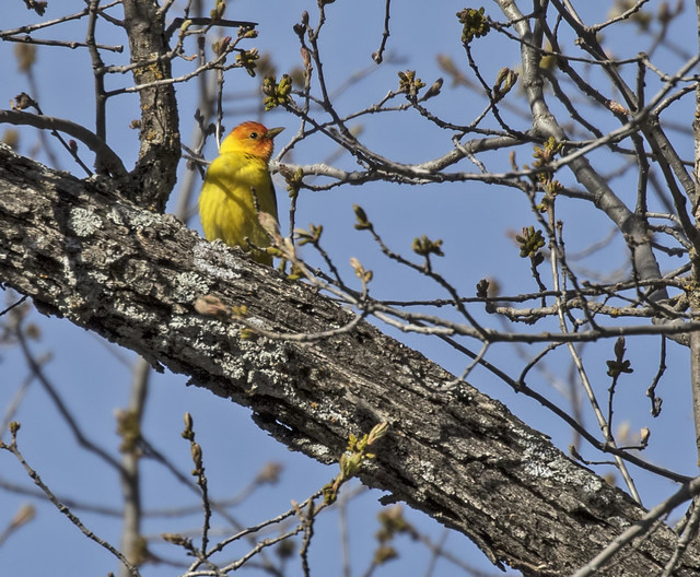 Western Tanager 11-7D2-110516
