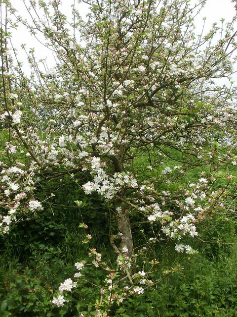 Blossom on fruit tree