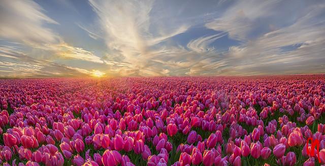 Phot.Ruigenhoek.Tulip.01.041624.8096.jpg