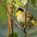 Common Yellowthroat - May-15-2016 (30-1)