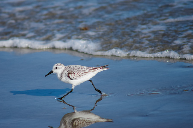 Sanderling (edited version) - almost a better shot