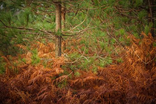 nature flora fir bracken cannockchase philescott