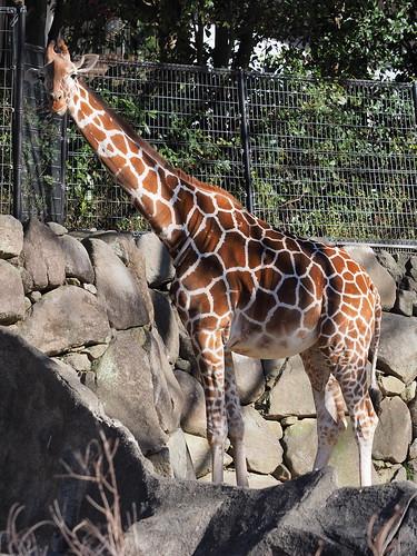 金沢動物園 キリン
