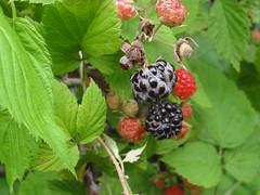 shrub(0.0), strawberries(0.0), flower(0.0), mock strawberry(0.0), produce(0.0), loganberry(0.0), food(0.0), currant(0.0), blackberry(1.0), tayberry(1.0), berry(1.0), red mulberry(1.0), plant(1.0), thimbleberry(1.0), wine raspberry(1.0), fruit(1.0), salmonberry(1.0), cloudberry(1.0), dewberry(1.0), mulberry(1.0),
