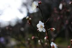 White Ume blossom, Koishikawa-garden