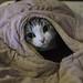 被外套蓋住的貓