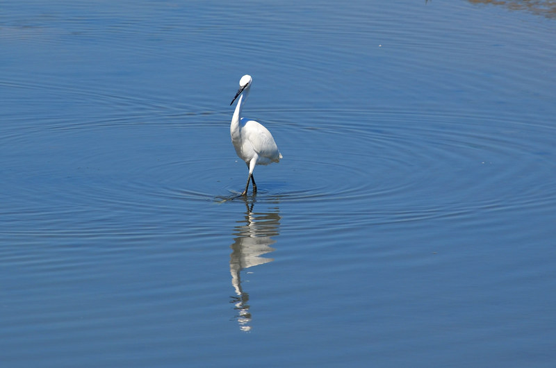 Egret, Ornithological Park, Saintes Maries de la Mer, Camargue, France