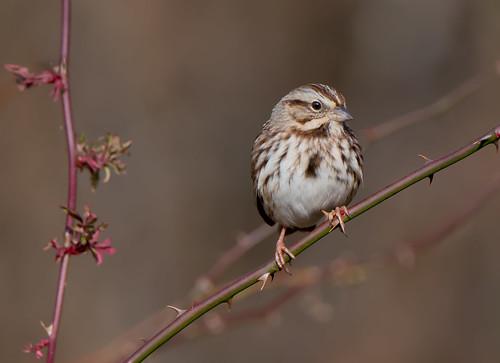 songsparrow sparrow bonniecoatesott