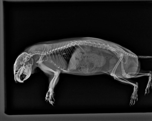 Prairie dog X-ray
