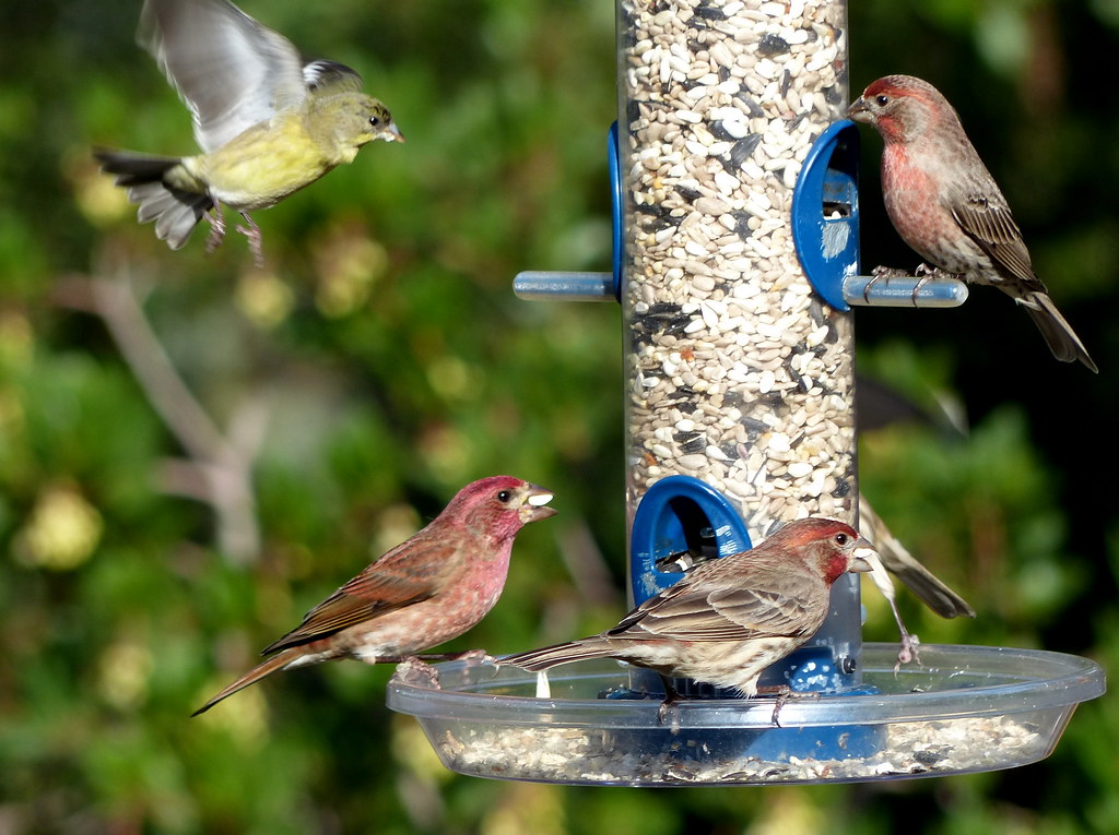 Some Finches