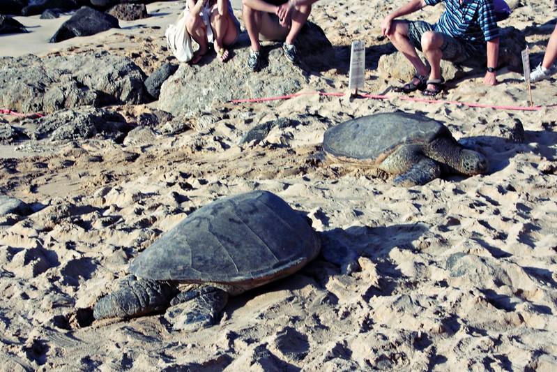 Laniakea Beachin kilpikonnat Havaijilla