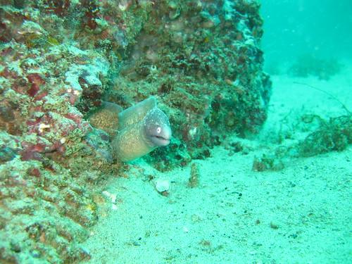 Moray Eel, Puerto Galera