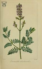 Lavandula canariensis [as Lavandula abrotanoides]   Herbier général de l'amateur, vol. 8 (1817-1827) [P. Bessa]