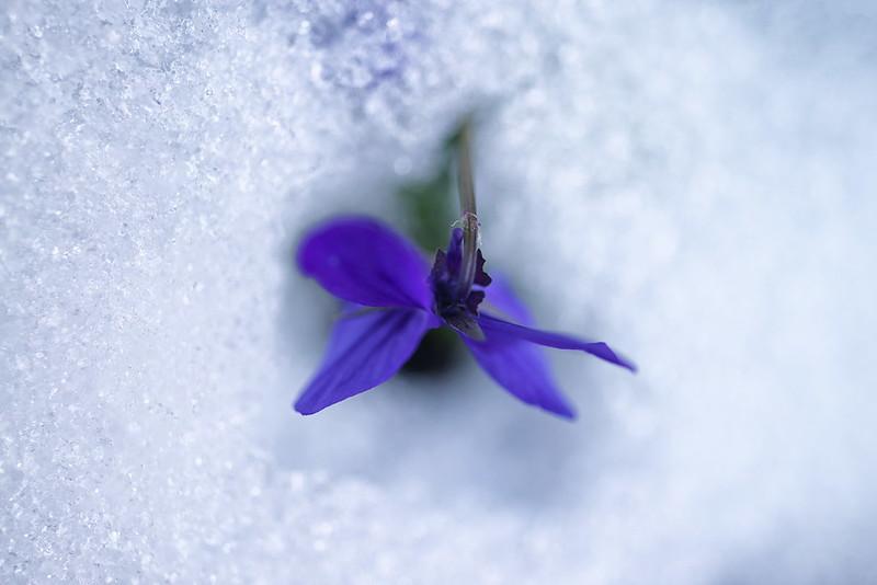 snow violet