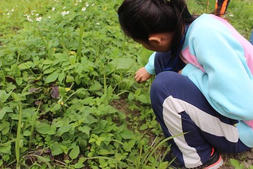 採摘野菜。