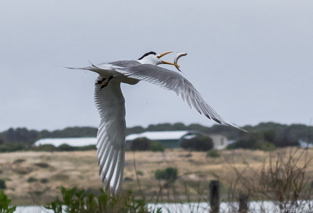 Crested Tern catch
