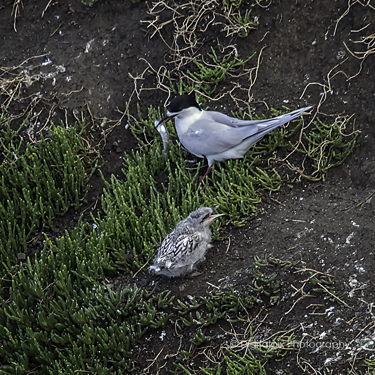 Whitefronted tern and chick