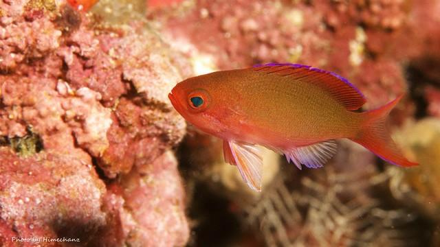カシワハナダイ幼魚。最近すんごい多い気がする♪