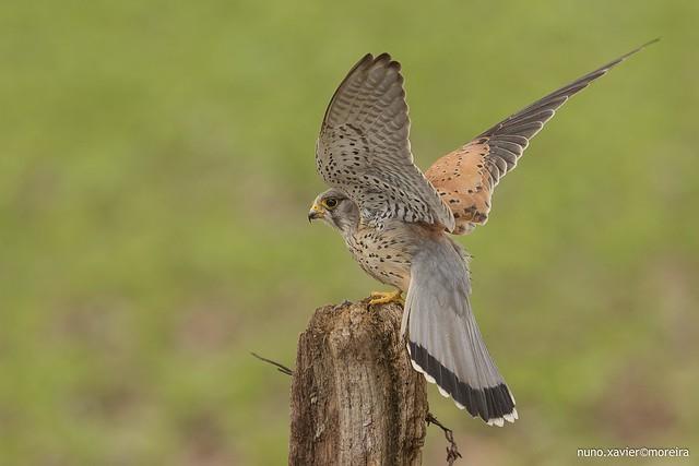 Peneireiro Vulgar, Common Kestrel (Falco tinnunculus)