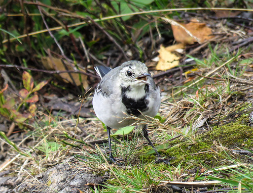 juvenile White Wagtail/junge Bachstelze