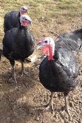 chicken(0.0), fowl(0.0), turkey(1.0), animal(1.0), fauna(1.0), wild turkey(1.0), domesticated turkey(1.0), beak(1.0), bird(1.0), galliformes(1.0),