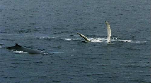 圖說:大約在1910年到1986年間,數以千萬的鯨魚在南極洲被殺死,直到國際捕鯨委員會禁止商業捕鯨為止。少量領有特殊許可證的科學性獵捕仍在進行中,然而依舊備受爭議。