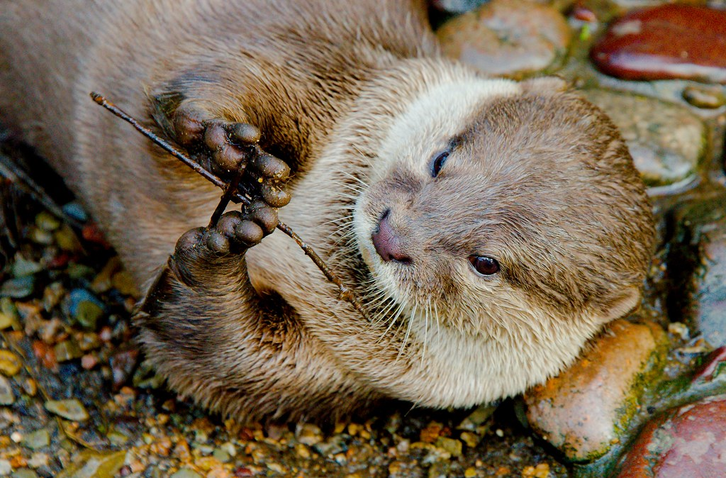 Asian Small-clawed Otter (Aonyx cinerea)_3