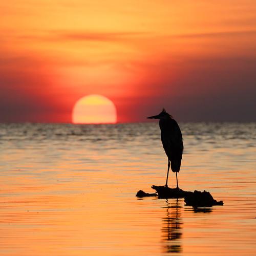 sunsetsilhouettebirdheronfloridagulfwater