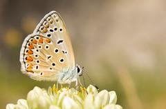 Papillon Azuré sur sa fleur