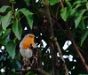 Robin in the ivy