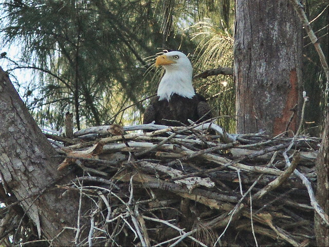 Bald Eagle male 0958AM 3-20141128