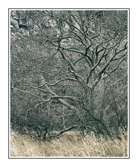 Borrowdale Tree