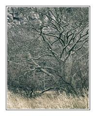 Borrowdale Tree