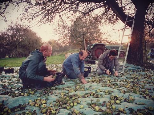 Ramassage des pommes