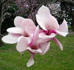 flower, plant, flora, cyclamen, pink, petal,