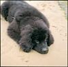 Cute Newfoundland Puppy Lying on a Beach