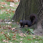 The black squirrel of Central Park