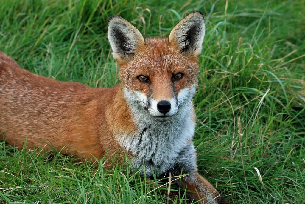 Wild fox Aberdeen