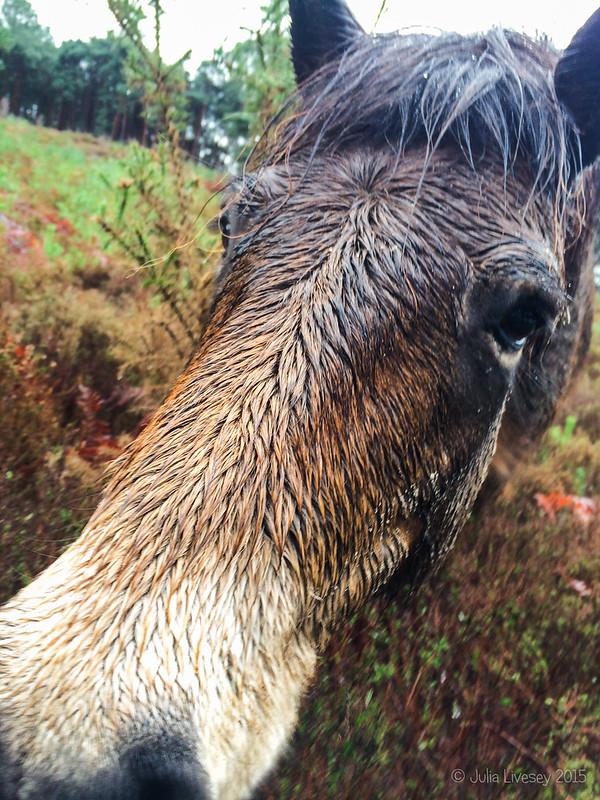 Exmoor Pony selfie
