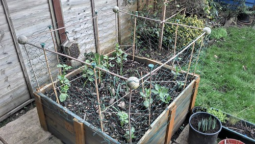 Broad bean trellis in situ