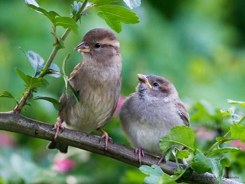 birds housesparrow vögel songbird youngbird jungvogel singvogel haussperling