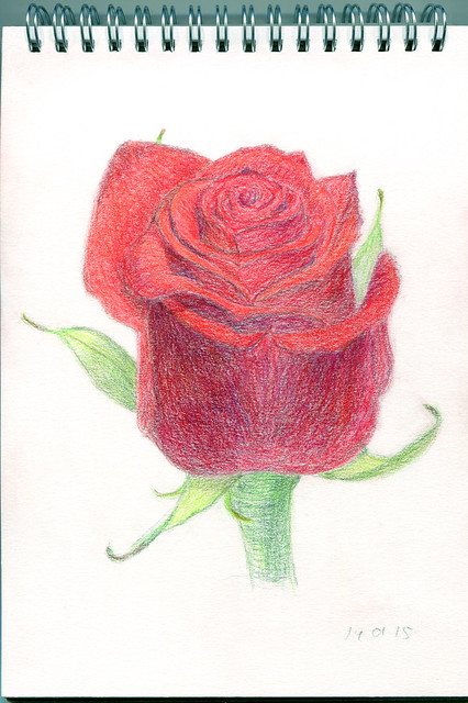 red rose. colored pencils