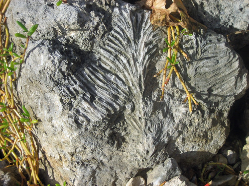 Fossilized sea coral, St. Mary, Jamaica coastline
