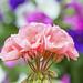 Pink Geranium backd by Petunias