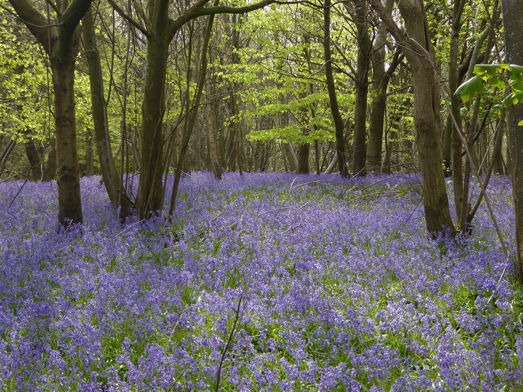 Bluebell wood near High Hurstwood Buxted Circular walk