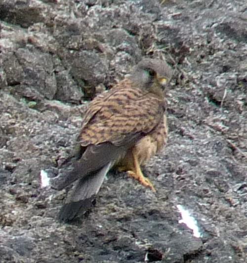 Falco tinnunculus 26871697810_8184e9d765_o