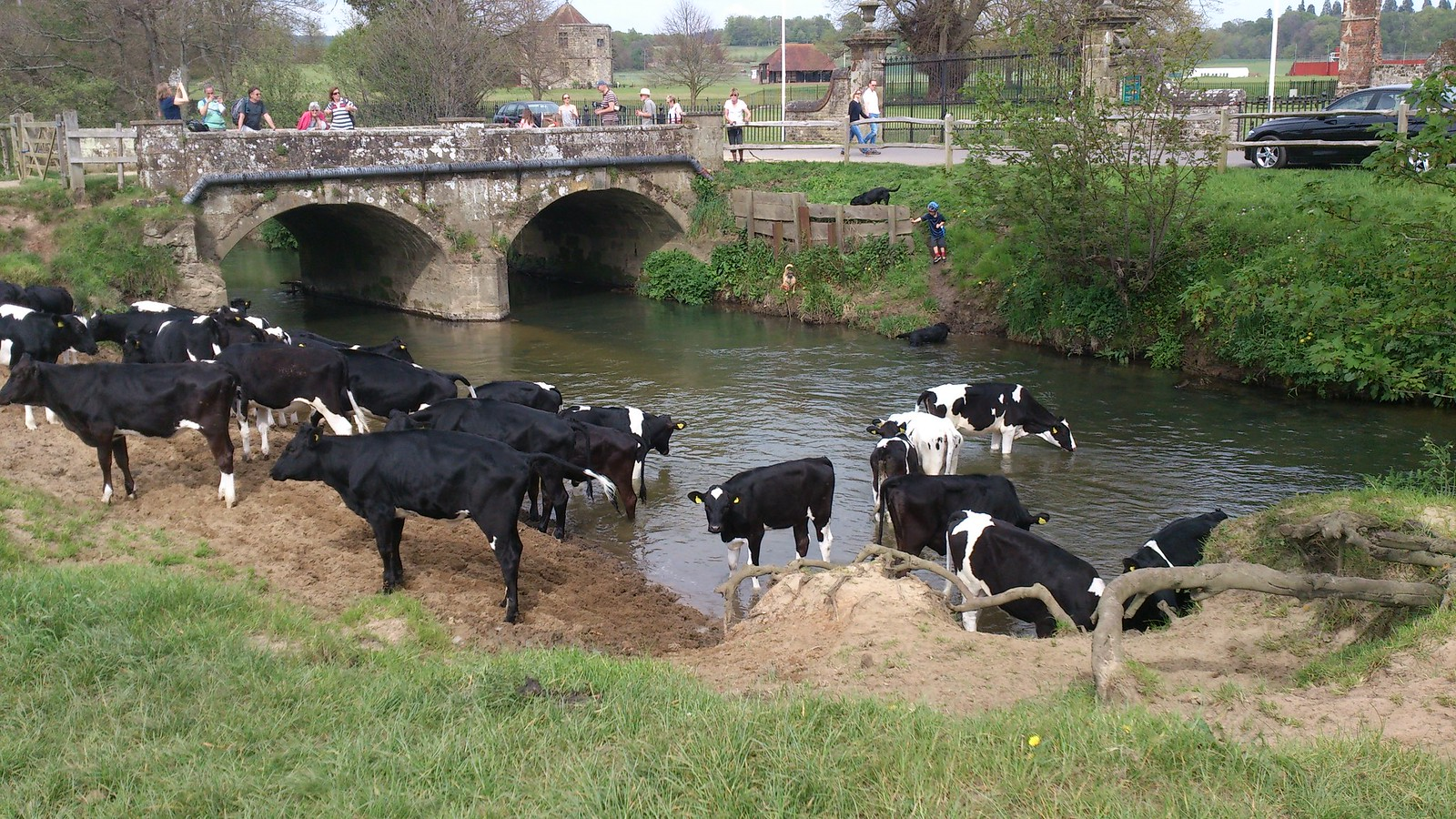 Cows in River Rother, by Cowdray Castle SWC Walk 263 Haslemere to Midhurst (via Temple of the Winds and Henley)